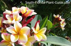 Diggin' Florida Dirt: Say 'Aloha' to summer-blooming plumeria Florida Landscaping, Florida Gardening, Tropical Landscaping, Tropical Garden, Tropical Flowers, Tropical Plants, Landscaping Ideas, Florida Trees, Florida Plants
