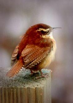 winter wren - love the beautiful colors - reddish browns and yellows #bird