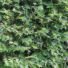 Yew (Taxus baccata) hedge