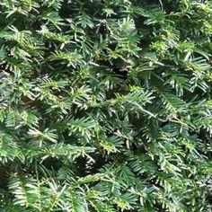 Yew (Taxus baccata) hedge