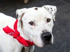 TO BE DESTROYED 9/21/14 Manhattan Center   My name is ARGO. My Animal ID # is A1014190. I am a neutered male white and black pointer mix. The shelter thinks I am about 4 YEARS old.  I came in the shelter as a STRAY on 09/15/2014 from NY 10467, owner surrender reason stated was STRAY.