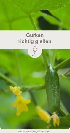 Gurken richtig gießen: Beim Anbauen von Gurken ist es wichtig, die Pflanzen richtig zu gießen, um viel und leckere Früchte zu ernten #Gurken #Gemüse #Gemüsegarten #Gartentipp #Gartenarbeit #vegetable #vegetablegarden #garden #gardentip