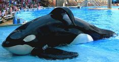 Tilikum at SeaWorld - you can see his collapsed dorsal fin.