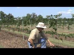 Dr. Arlie Powell Blackberry #2. How to trellis and prune