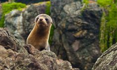 Inquisitive pup! North Island seal colony