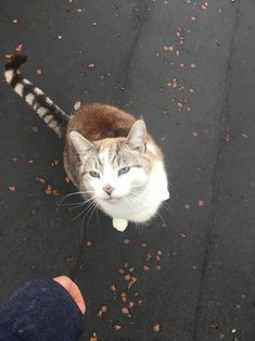 this cat that followed me home the other day was so beautiful! (and loves all the scritches) by kell-shell cats kitten catsonweb cute adorable funny sleepy animals nature kitty cutie ca