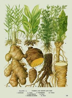 TOP 10 Healing Ayurvedic Spices Ayurveda is one of the world´s oldest science. It dates back to 3000 BC when the roots and the concept of Ayurveda has been established, by the sages of India, in the Vedas which is the ancient book of knowledge. Illustration Botanique, Plant Illustration, Botanical Illustration, Vintage Botanical Prints, Botanical Drawings, Botanical Art, Healing Herbs, Medicinal Plants, Ayurvedic Healing