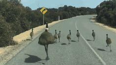 Australian traffic...