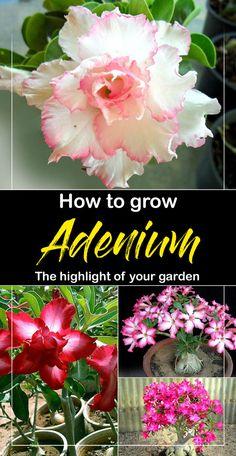 Chizi Adenium Whitish Transparant Double Flowers Yellow Stripes Rose Seeds