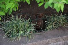Not a brick wall, not a wire edge can stop a chocolate Labrador puppy from digging in the garden.......can you  please help me get out. Labrador Puppies, Brick Wall, Wire, Chocolate, Garden, Garten, Schokolade, Gardening, Lab Puppies