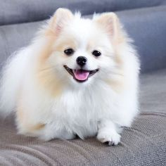 Find Out More On Lively Pomeranian Puppies Exercise Needs Chihuahua Puppies, Cute Puppies, Dogs And Puppies, Maremma Dog, Baby Animals, Cute Animals, Cute Pomeranian, Cute Dog Pictures, Fluffy Dogs