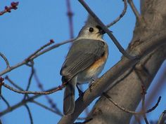 tufted titmouse at Tinker Park