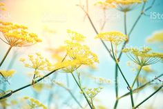 Wild Fennel Flowers in Nature. Foeniculum Vulgare, Abstract Photos, Fennel, Flower Photos, Image Now, Royalty Free Stock Photos, Yellow, Nature, Flowers