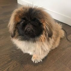 In desperate need of a haircut before mom and dad DIY it . Pekingese Dogs, Four Legged, Beautiful Cats, Fur Babies, Balls, Dog Cat, Pets, Animals, Dogs