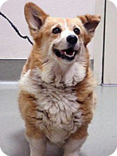 Wildomar, CA - Pembroke Welsh Corgi Mix. Meet 258943, a dog for adoption. http://www.adoptapet.com/pet/13242316-wildomar-california-pembroke-welsh-corgi-mix