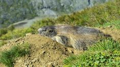 Groundhogs Snoozing For Most Of Three Months