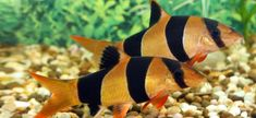 Clown Loach Tropical aquarium fish species index. Learn all about the Clown Loach Chromobotia macracanthus Tropical Freshwater Fish, Freshwater Aquarium Fish, Tropical Fish, Clown Loach, Discus Fish, Pet Fish, Underwater Creatures, Fish Swimming, Beautiful Fish