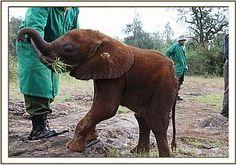 MBEGU - Elephant Orphan History - David Sheldrick Wildlife Trust