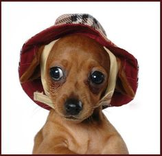 funny animals, hats, puppies, dachshund, pet, wallpapers, ador, weiner dogs, puppi wallpap