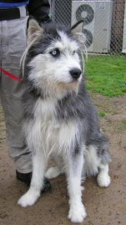 Irish Wolfhound/Husky mix