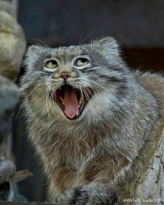 Pallas cat - me if I was a cat.