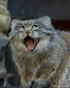 Pallas cat - me if I was a cat.