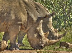 Due to the high number of Rhino poaching in South Africa these magnificent animal's lives are at risk every day Rhino Poaching, Flightless Bird, Mammals, South Africa, Elephant, Rhinos, Homeland, Nature, Naturaleza