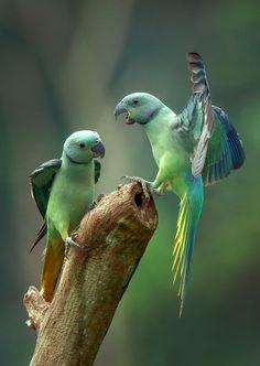 Pretty Birds, Beautiful Birds, Animals Beautiful, Colorful Parrots, Colorful Birds, Animals And Pets, Baby Animals, Cute Animals, Tropical Birds