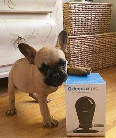This French Hulldog Puppy endorses a 'stay at home' cam❤️