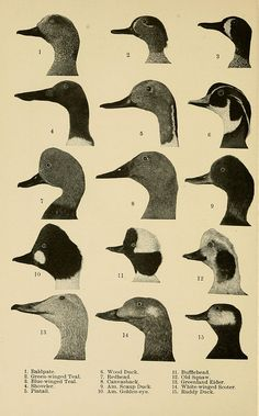 n125_w1150 by BioDivLibrary...duck heads...remember when you were obsessed with duck identification??!