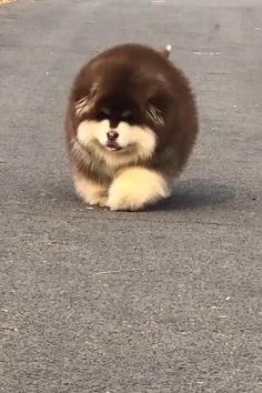 Alaskan Malamute, Chow Chow, Cute Animals, Yard, Puppies, Videos, Dogs, Cutest Baby Animals, Dog Cat
