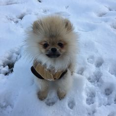 @worldofxaviunique #pomeranian #donuts #donut #pomeraniansofinstagram #pomeranianpuppy #puppy #love #loveyou #pomeriaan #pets #pet #dog #dogs #animal #beauty #beautiful #baby #babyboy #realpomeranian #fluffy #paws #dog #dogs #puppylife #auttum #doglovers #cute #photooftheday #instagood #instadaily #follow #happy #fun #netherlands #holland #background #realpomeranian #winter #summer #auttum #spring #dwergkees #dwergkeesje #boy #inlove