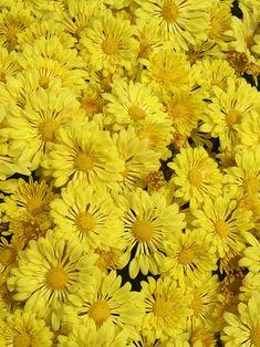 Mum-Yellow Starlet --  Bluestone Perennials
