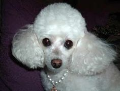 Teacup poodle with pearls i love it!!