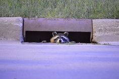 Secret Agent Raquel Raccoon reporting for duty!! | Flickr - Photo Sharing!