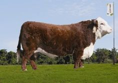 Sucessor - Hereford Mocho