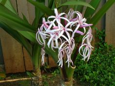 Crinum asiaticum. I have one of these but it has yet to bloom for me!