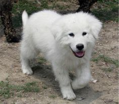 Great Pyrenees pup. If I could find one that didn't bark like a crazy I would so want another.