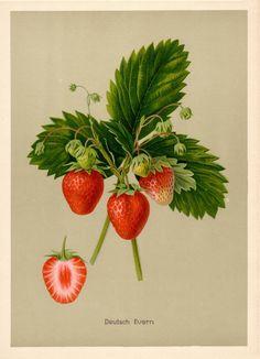 Müller-Diemitz; Bissmann-Gotha u.a.: Deutschlands Obstsorten, Strawberrry, Erdbeere Deutsche Evern, BUND-Lemgo Obstsortendatenbank