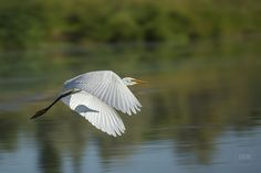 Egret Motion Blur 2016 Archival print from Louis Ruth Photography