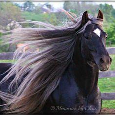 Double Clutch - Rocky Mountain Horse