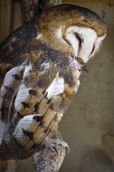 Barn Owl..... unbelievable.... We will have owls in our castle! All kinds:)