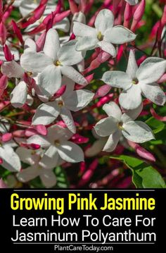 Jasminum Polyanthum Care: How To Grow Pink Jasmine Jasmine Vine, Pink Jasmine, Fast Growing Plants, Growing Flowers, Tulips Garden, Planting Flowers, Flower Gardening, Big Plants, Indoor Plants