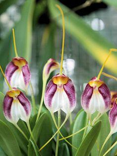 Masdevallia schroederiana orchids