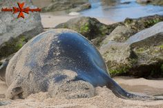 Hawaii Monk Seal photographed from Secret beach at the Ko Olina Resort, Waianae Coast, Oahu, Hawaii Hawaiian Monk Seal, Hawaiian Islands, Oahu Hawaii, Commercial Photography, Coast, Ocean, Seals, Nature, Pictures