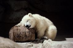 """I love you, rock. Let me hug you"", adorable Polar Bear Cub. Cute Baby Animals, Animals And Pets, Funny Animals, Wild Animals, Sleepy Bear, Especie Animal, Animal Babies, Baby Polar Bears, Bear Cubs"