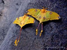 """A Pair of Comet Moths by Johan (photowalker) Nijenhuis: Argema Mittrei is a silk moth found only in Madagascar and is known for its tail which may be 8"""" in length. #Comet_Moth #Madagascar #Johan _Nijenhuis"""