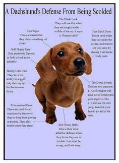 Dachshund Puppies Does your doxie do this? I know Leo does. Dachshund Facts, Dachshund Breed, Dachshund Quotes, Dachshund Funny, Mini Dachshund, Daschund, Dapple Dachshund, Chihuahua Dogs, Chiweenie Dogs