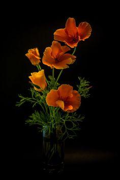 Poppies by António Bernardino Coelho Elegant Flowers, Beautiful Flowers, Beautiful Images, California Poppy Tattoo, Weekend Images, Darker Shades Of Grey, Poppies Tattoo, Moonflower, Art Of Love
