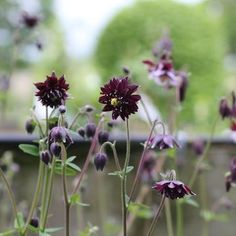 rabatt blommor Aquilegia vulgaris stellata Black B - Dark Flowers, Black Garden, Dream Garden, Garden Planning, Garden Projects, Garden Inspiration, Garden Plants, Flower Pots, Perennials